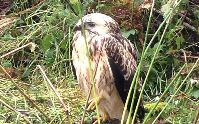 Buzzard Rescue